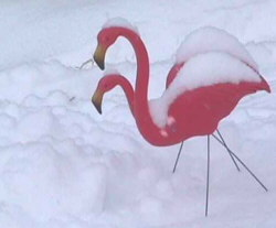 Picture of 2 pink flamingos in the snow in Lancaster, NH.